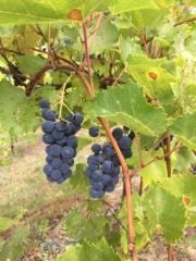 Grapes - WillowsAwake Winery