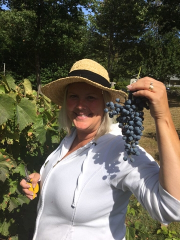 Grape Picking - WillowsAwake Winery