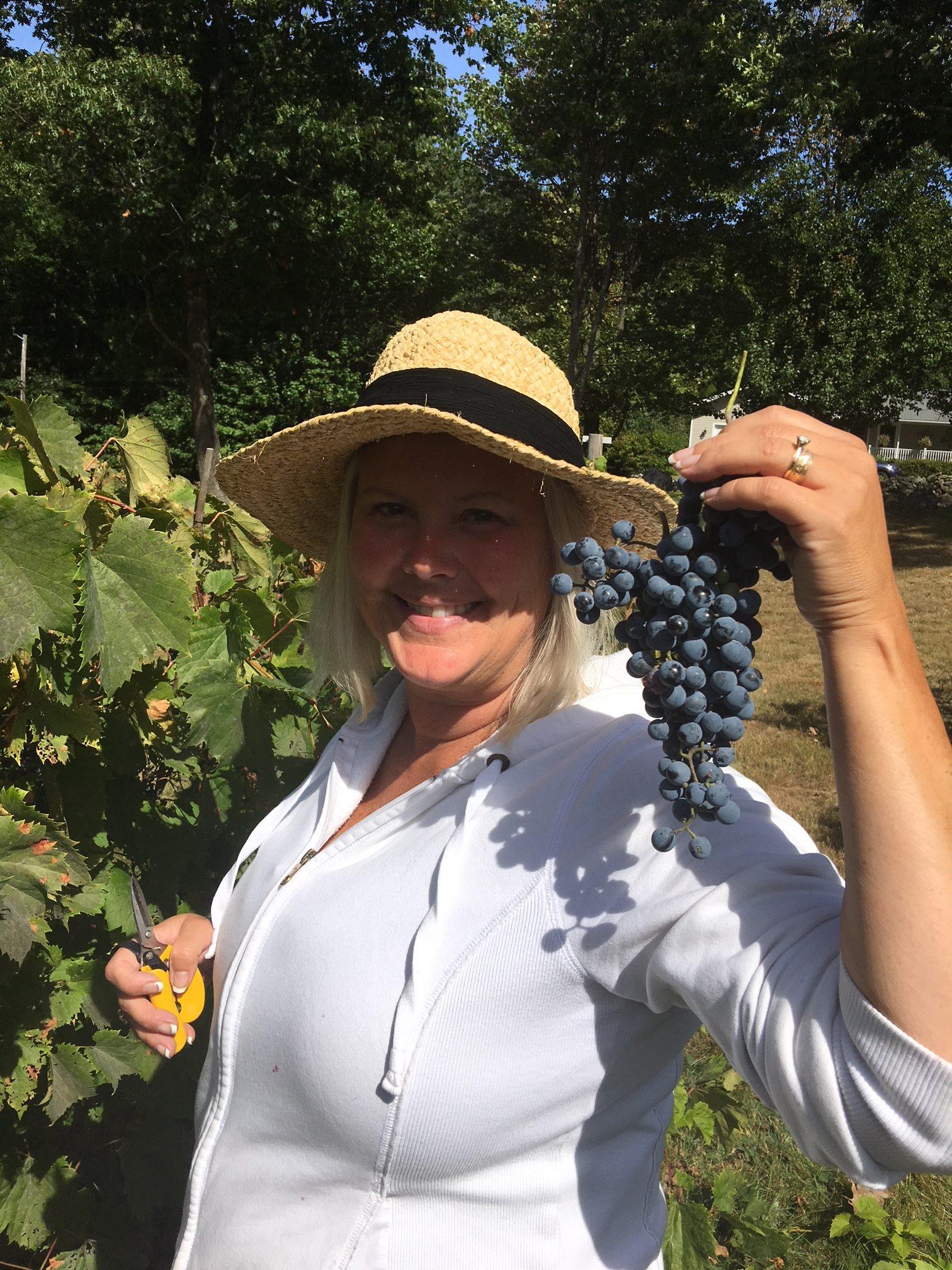 Grape Picking - WillowsAwake Winery