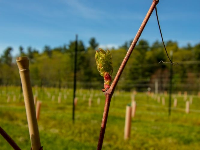 Buds on the 2017 vines